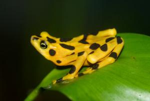 Panamanian-Golden-Frog-Brian-Gratwicke